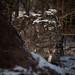 Caught between a rock and hard place (Dan Portch) Tags: deer deerling fallow wildlife snow knole knolepark sevenoaks sevenoaksknolepark kent