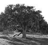 Harmony Tree _bw (Joe Josephs: 2,861,655 views - thank you) Tags: california californialandscape joejosephs landscapes travel travelphotography californiacentralcoast fineartphotography hillside landscape landscapephotography outdoorphotography fences property land farms farmland blackandwhitephotography blackandwhite