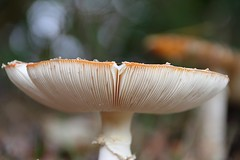 (orbit9000) Tags: pilz mushroom autumn fly agaric fliegenpilz glück glückspilz amanita muscaria juliane myja bokeh natur nature green grün rot red hochweitzschen wald wood wiese herbst funghi fungi park outdoor depth field flyagaric