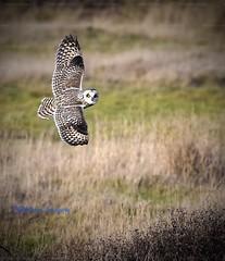 Stunning!!! (Albatross Imagery) Tags: nikon naturephotography photography photo hampshire wildlifephotography rspb wildowl wildlife birds bird birdofprey raptors raptor owls owl