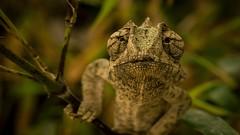 Camaleão (marciorodgs) Tags: animal animais camaleão vivas cores cor collor flora fauna anfíbio amazonas brasil brazil