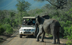 Dangerous Encounter (Butch Osborne) Tags: awesome amazing adventure fabulous elephant wildlife wild bucketlist beautiful c interesting scenic mustsee africa southafrica safari outdoors road forest puravida nikon dangerous danger scary landscape