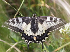 Schwalbenschwanz (Papilio machaon) (gbohne) Tags: closeup canon butterfly insect al butterflies insects lepidoptera insekt arthropods arthropoda insekten schmetterlinge schmetterling insecta swallowtails schwalbenschwanz pterygota oldworldswallowtail ritterfalter taxonomy:class=insecta geo:country=germany taxonomy:phylum=arthropoda taxonomy:subclass=pterygota taxonomy:subphylum=hexapoda tagaktiv geo:region=europe taxonomy:suborder=glossata