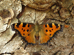 Nymphalis polychloros (Female) (Lepsibu) Tags: nymphalidae