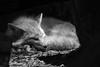 Saki in the Shadows (MTSOfan) Tags: blackandwhite nap sleep fox greyscale redfox epz