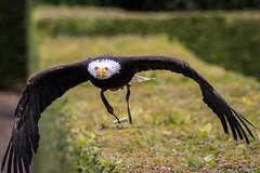 Pygargue  tte blanche (M4rcrp) Tags: bird birds  blanche oiseau oiseaux tte haliaeetus leucocephalus rapace pygargue fauconnerie