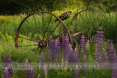 Among the lupines (betty wiley) Tags: flower abandoned field grass rust farm farming newhampshire equipment rusting lupine