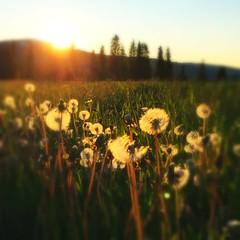 (Dag4) Tags: sunset field dandelions cinamatic