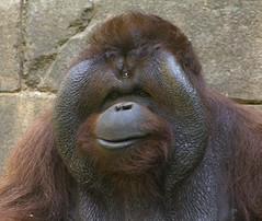 People of the Forest (ucumari photography) Tags: sc animal mammal south july orangutan carolina primate greatape 2015 greenvillezoo specanimal ucumariphotography dsc8476