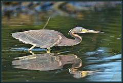 Target acquisition (WanaM3) Tags: heron nature nikon texas wildlife ngc bayou npc pasadena canoeing paddling tricoloredheron clearlakecity d7100 avianexcellence horsepenbayou wanam3 nikond7100