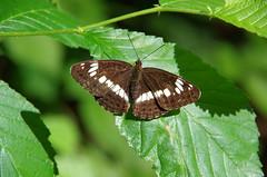 Kleiner Eisvogel (Aah-Yeah) Tags: white butterfly bayern camilla admiral kleiner achental limenitis chiemgau grassau eisvogel tagfalter schmertterling