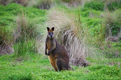 Wild Wallaby (In Explore July 25, 2015) (jasonroweart) Tags: wild jason nature field grass animal outside outdoors pentax wildlife ngc australian favorites australia victoria explore npc kangaroo wallaby favourites outback faves 100 marsupial rowe 100faves explored 100comments inexplore k5iis jasonroweart