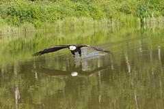 Bird in flight Workshop (a56jewell) Tags: summer reflection bird water pond eagle sunday baldeagle july heat a56jewell