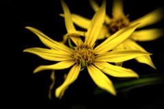 Flowers in the wild 1 (Calvin Morgan) Tags: flowers flower outdoors weeds wildflower nikond7000