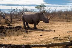 Hide and Seek (Jose Carlos Babo) Tags: africa wild game animals african lodge safari rhino horn swaziland rhinoceros swazi hlane