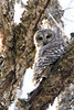 Snake Dinner (jrlarson67) Tags: barred owl raptor birdofprey tree snake portrait nikon d500
