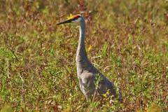 Horicon Marsh Sandhill Crane (chumlee10) Tags: horiconmarsh sandhill crane wi wisconsin bird