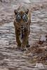 Tiger Patrol (fascinationwildlife) Tags: animal mammal wild wildlife nature natur summer predator tiger female road forest djungle big india indien evening asia ranthambhore national park cat