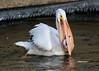 American white pelican fishing (Stoil Ivanov) Tags: americanwhitepelican americanwhitepelicanfishing lockanddamno14