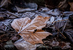 Frosted Leaf (Explored) (Katrina Wright) Tags: dsc0084 leaves leaf frosted freezing frost winter