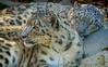 First Alert (Robert Streithorst) Tags: zoosofnorthamerica cincinnatizoo robertstreithorst sleep snowleapord bigcat