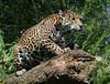 Ready To Pounce (Ger Bosma) Tags: 2mg107800 jaguar pantheraonca yaguar yaguareté americas southamerican largepredator bigcat feline onçapintada ягуар jaguars female
