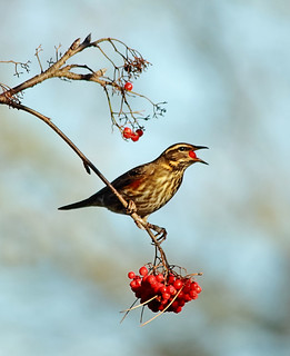 Redwing and red berries