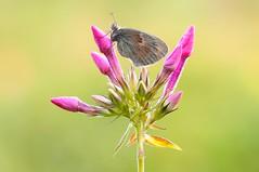 Diamonds of Nature III... (Zbyszek Walkiewicz) Tags: butterflies butterfly sony sunrise closeup