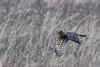 Pole Farm, N.J.: Northern Harrier (donna lynn) Tags: 2016 december nj newjersey birding birds mercercounty nikon d750 nature wildlife raptors hawks polefarm winter northernharrier circuscyaneus