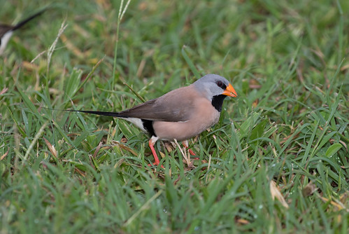 Long Tailed Finch (Poephila acuticauda) (15 centimetres).02