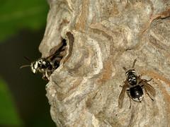 Bald-faced Hornets at their nest (treegrow) Tags: washingtondc rockcreekpark lifeonearth nature canonpowershotsx40hs arthropoda insect dolichovespulamaculata taxonomy:binomial=dolichovespulamaculata hymenoptera vespidae
