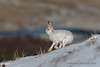 Mountain hare (Lepus timidus) (Gowild@freeuk.com) Tags: mountainhare hare hares mammal animal nature wild wildlife mountain cairngorm scotland scottish reserve national park andrewmarshall nikon snow white fur coat pelage lepus timidus