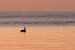 Morning Swim (Don Burkett) Tags: birds brownpelican canon dlsr donburkett fl fauna florida gulfofmexico nature outdoor outdoors sannabelisland seascape southflorida sunrise wildlife dtburkett