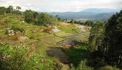 Mas arrozales (Sacule) Tags: tanatoraja sulawesi indonesia rantepao rice field terrace paddies landscape paisaje canon powershot sx200is 2011 southeastasia viaje travel backpack asia oriental green