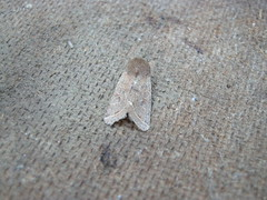 Common Quaker Moth DSCN0165 (Coventry City Council) Tags: coombecountrypark coombeabbey coventry