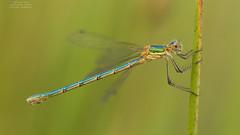 Lestes sponsa (Pipa Terrer) Tags: lestessponsa lestidos dragonfly zigoptera insecta odonata