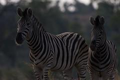 DSC_5127 (mylesm00re) Tags: burchellszebra equusquaggaburchellii limpopo welgevondengamereserve za mhondorogamelodge sebra southafrica waterhole