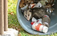 Another man's treasure (Shannon Rose O'Shea) Tags: shannonroseoshea shannonosheawildlifephotography shannonoshea shannon orlandowetlandspark christmas florida flickr wwwflickrcomphotosshannonroseoshea nature wildlife animal trash opossum canon canoneosrebelt6i canon100400mm14556lis canonrebelt6i canoneost6i eosrebelt6i eost6i rebelt6i t6i outdoors outdoor trashcan onemanstrashisanothermanstreasure