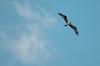 Osprey over Puget Sound (michaelallanfoley) Tags: nikon d7000 300 300mm f4 f4e pf phase fresnel vr