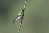 DSC_9074 (mylesm00re) Tags: africa capetown cinnyrischalybeus kirstenboschnationalbotanicalgarden kleinrooibandsuikerbekkie nectariniidae southafrica southerndoublecollaredsunbird sunbirds westerncape za demodistractions