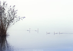 Walk With Some Friends... (ktania) Tags: friends swan lake icelake fog foggy winter automn blue white whitebackground nature naturesfinest national nationalgeographic natgeo landscape landscapephotography beautiful duck kastoria kastorialake greece greek water wildlife wildbird canon canoneos6d canonef1740mmf40lusm taniakoleska taniaphotography taniaphotos instagram sell buy photography photo photographyart photoshop art