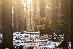 DSC05238-22 januari 2017 (mauriceweststrate) Tags: 135mm 28 meyeroptik rozendaal sonya77 winter bos bossen cold forest forests mauriceweststrate meyeroptikgorlitz135mmf28 rays sunrays tree trees