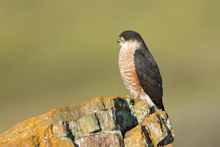 Sharp-shinned Hawk (X71_2065-1)