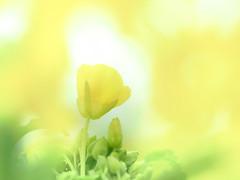 canola flowers (Tomo M) Tags: 菜の花 macro bokeh spring yellow pastel 吾妻山公園