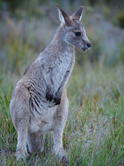 "young kangaroo • <a style=""font-size:0.8em;"" href=""http://www.flickr.com/photos/44919156@N00/32623327256/"" target=""_blank"">View on Flickr</a>"