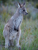 """young kangaroo • <a style=""""font-size:0.8em;"""" href=""""http://www.flickr.com/photos/44919156@N00/32623327256/"""" target=""""_blank"""">View on Flickr</a>"""