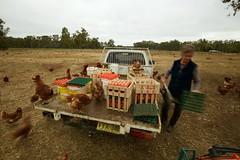 Collecting the eggs (David Redfearn) Tags: eggs barham hens riverina barhamnsw