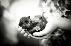 tiny paws (Jen MacNeill) Tags: blackandwhite pet baby pets black animal animals cat hands kitten small monotone tiny hold kittie littledoglaughednoiret