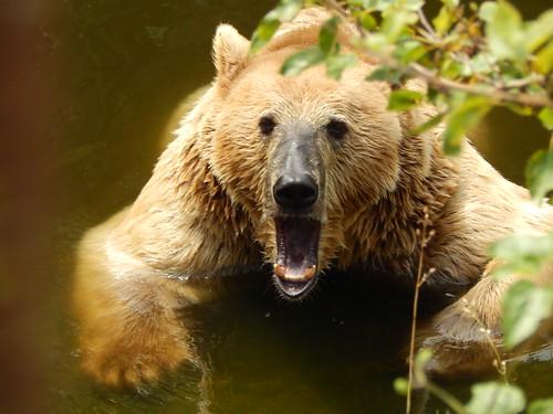 Eurasian Brown Bear - Khodzhokhskaya Tesnina, Russia, Adygeya