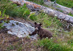 Cub (laura's POV) Tags: bear nature forest cub hiking wildlife jackson wyoming inspirationpoint jacksonhole grandtetonnationalpark gtnp lauraspointofview lauraspov